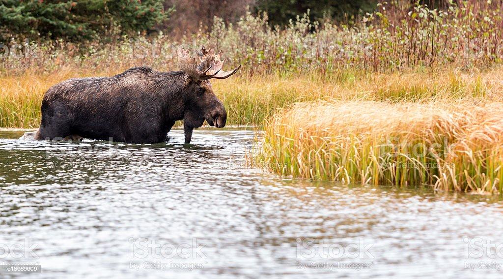 Moose Walking in Deep Water stock photo