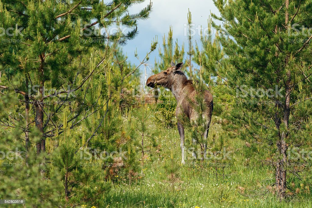 Moose walking in the forest stock photo