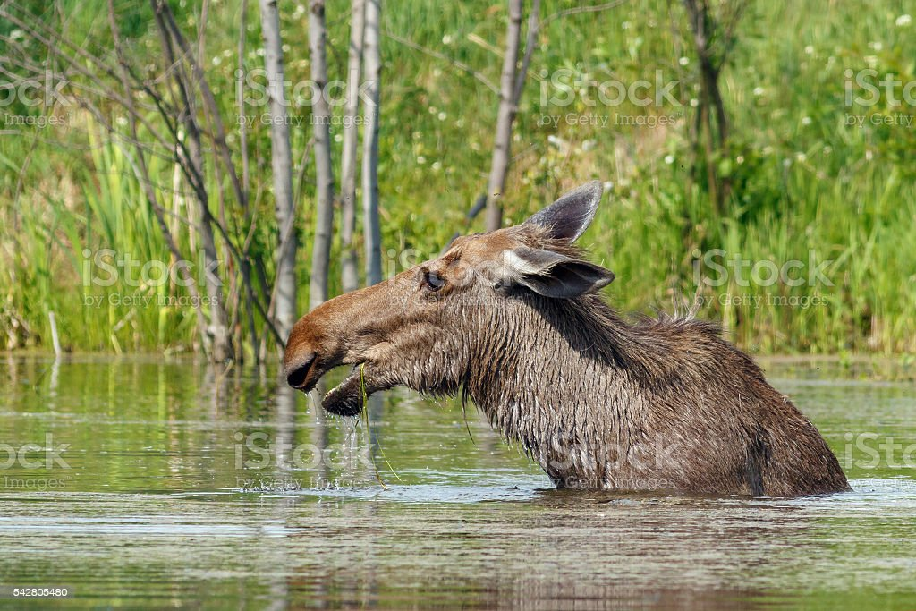 Moose walks in the pond stock photo