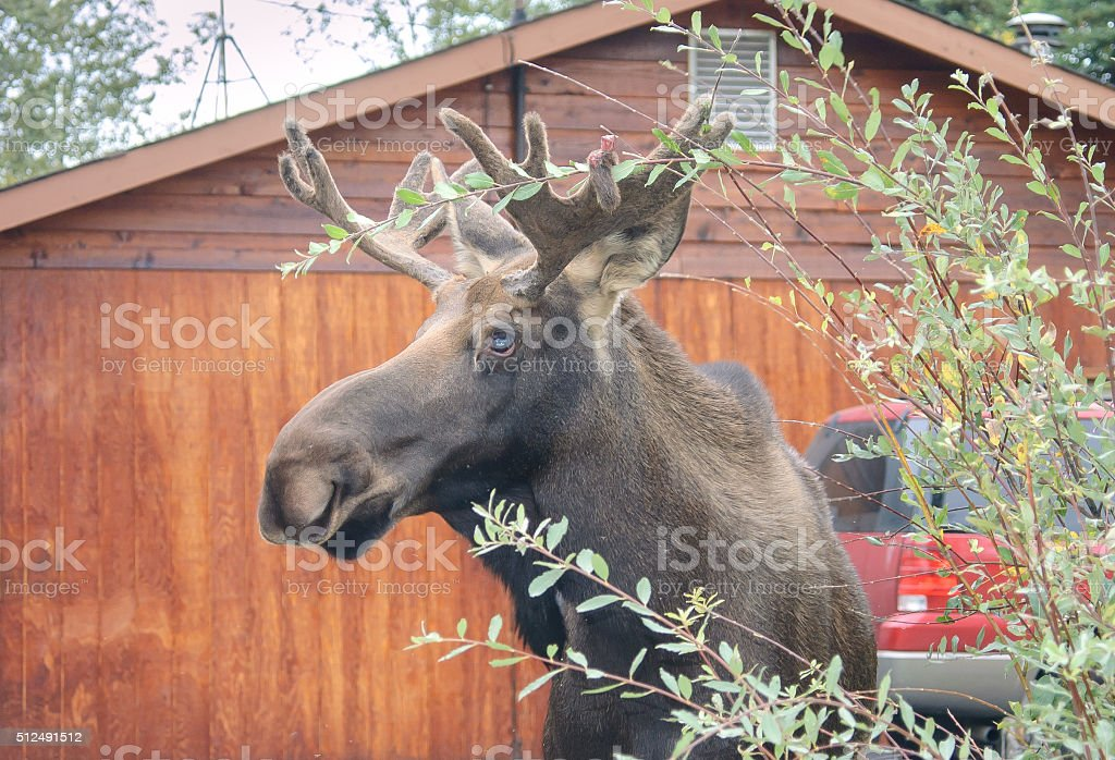 Moose with Antlers in Front of House stock photo