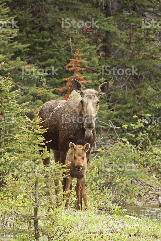 Moose with calf royalty-free stock photo