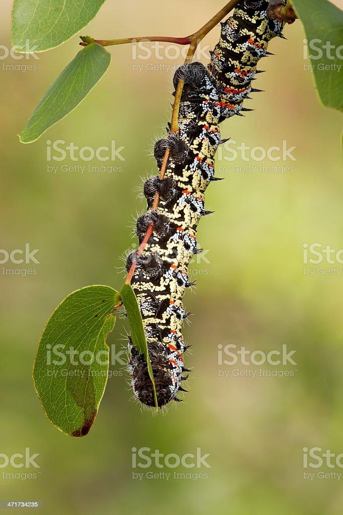Mopane worm on leaf royalty-free stock photo