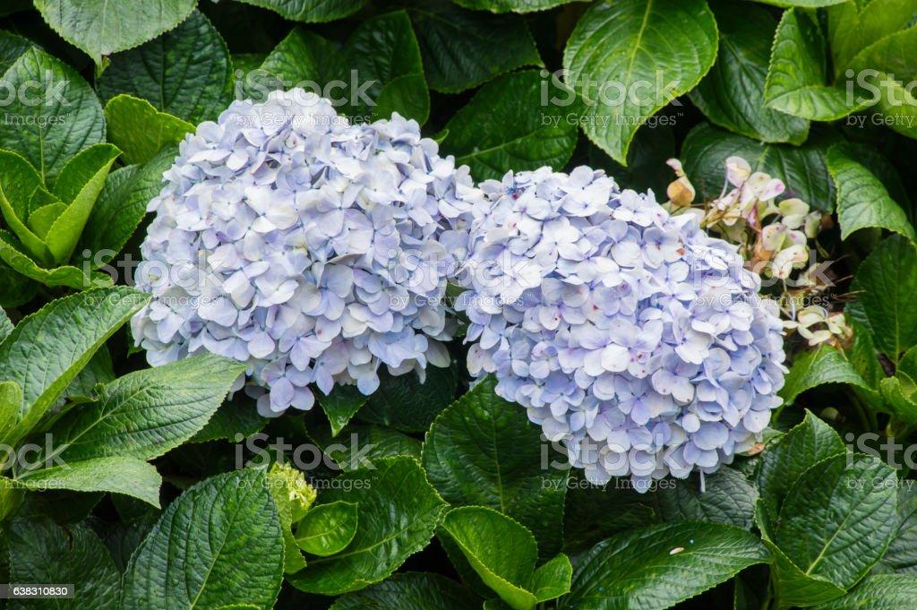 Mophead Hydrangea - Hydrangea macrophylla 'Endless Summer' stock photo