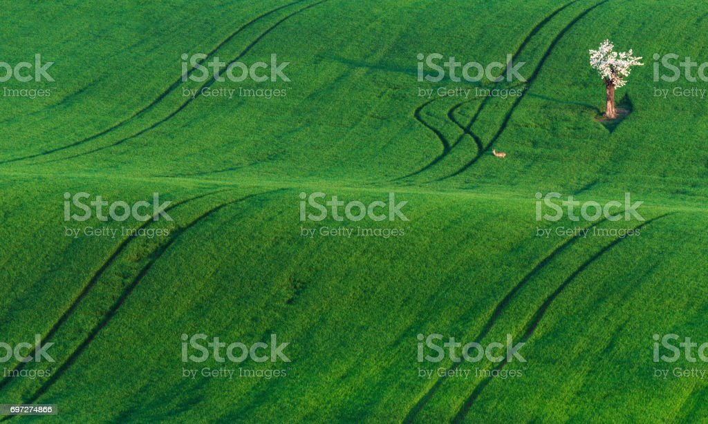 Moravian Green Rolling Landscape With Apple Tree And Deer.Landscape With White  Flowering Tree And Small Deer On The Green Hill,Which Is Highlighted By Sun. Natural Springtime Landscape In Green Color stock photo
