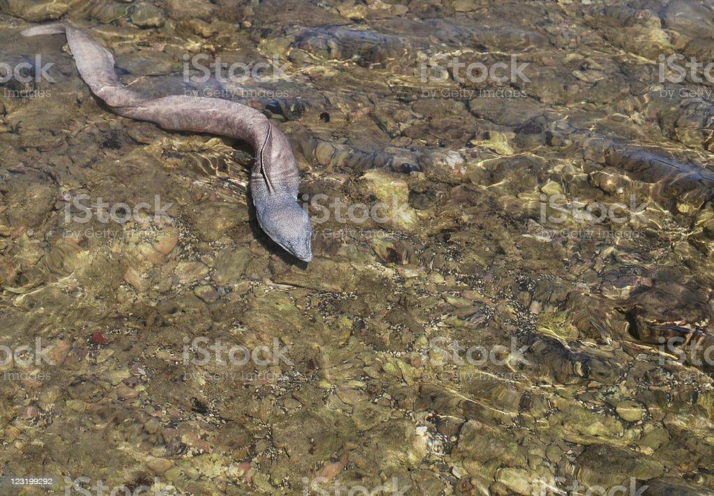 Moray eel at Hanauma Bay, Hawaii stock photo