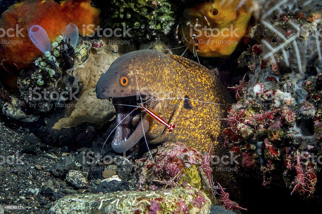 Moray eel cleaner shrimp stock photo