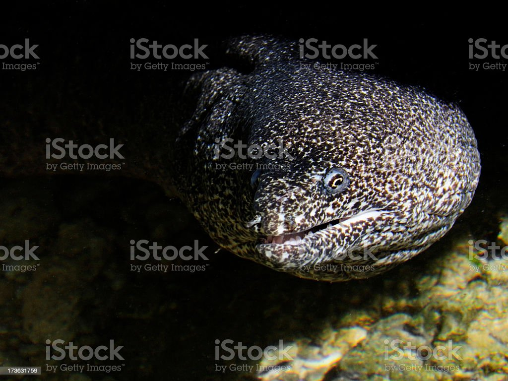 Moray Eel in a Rockpool stock photo