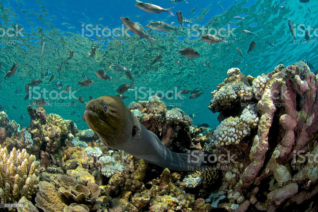 moray eel in coral reef stock photo