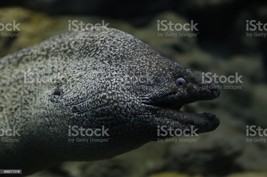 Murena (Muraenidae) royalty-free stock photo