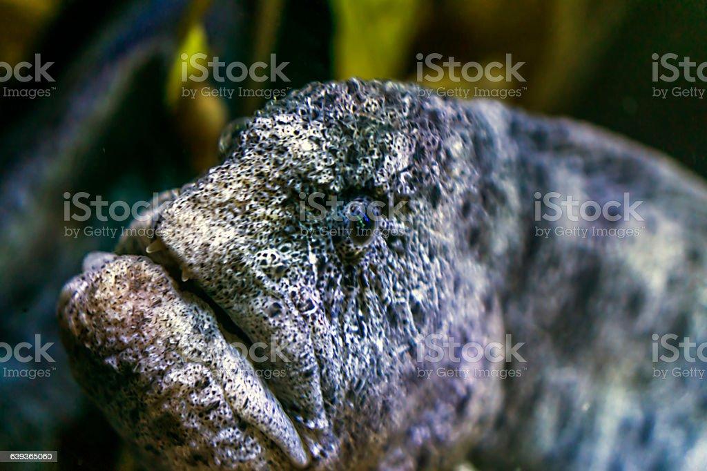 Moray stock photo
