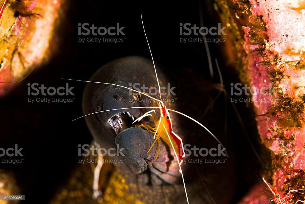 Moray&Shrimp stock photo