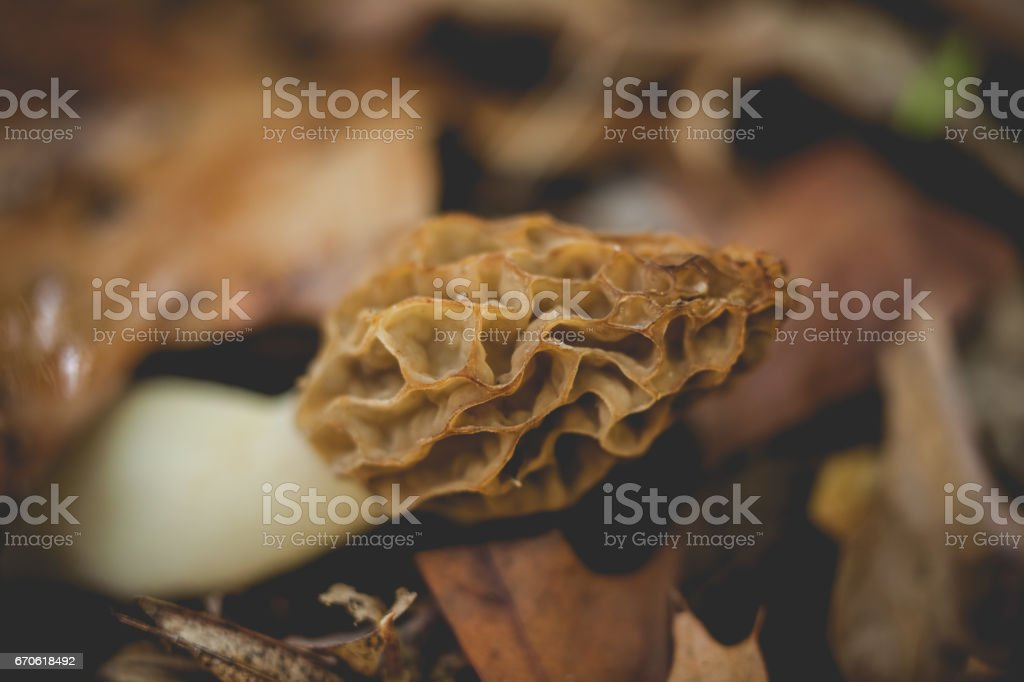 Morel Mushroom stock photo