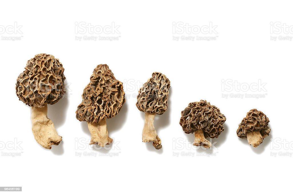 Morel Mushroom (Morchella esculenta) stock photo