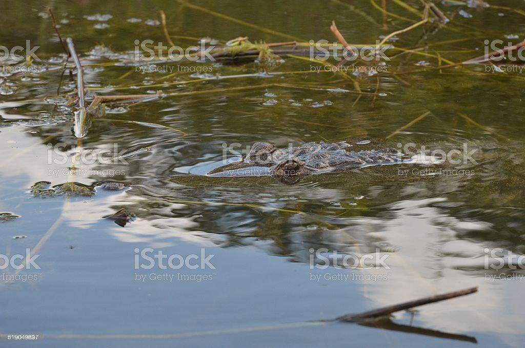 Morelet's Crocodile royalty-free stock photo