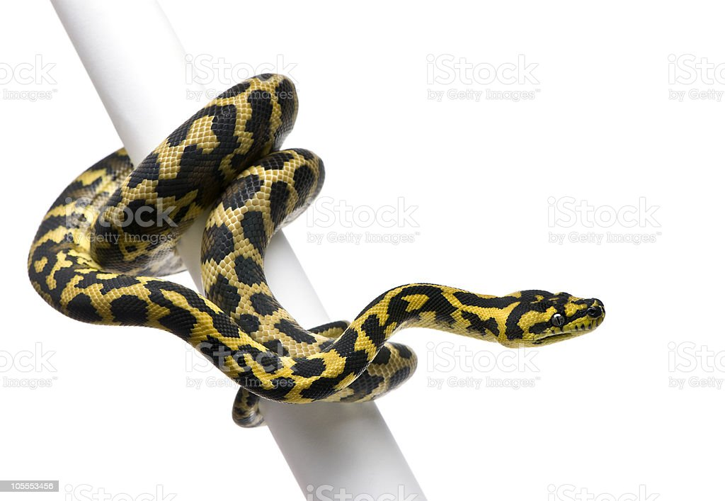 Morelia spilota variegata python, on pole. royalty-free stock photo