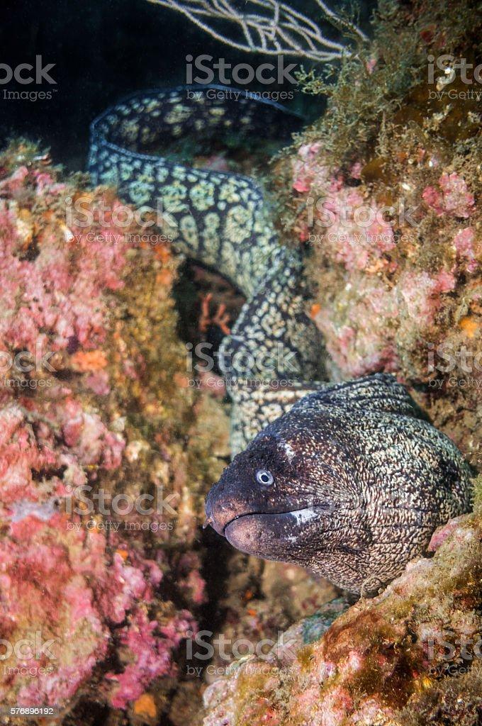 morena moray eel costa brava long dangerous long stock photo
