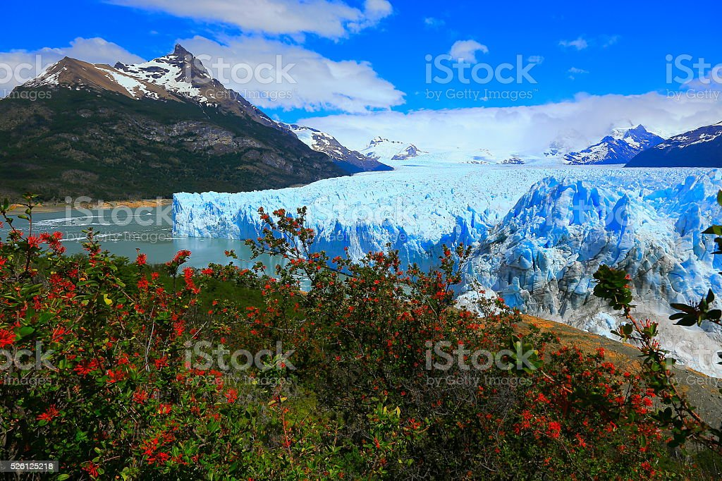 Moreno Glacier, spring red flowers, Lake Argentina, Patagonia, Calafate stock photo
