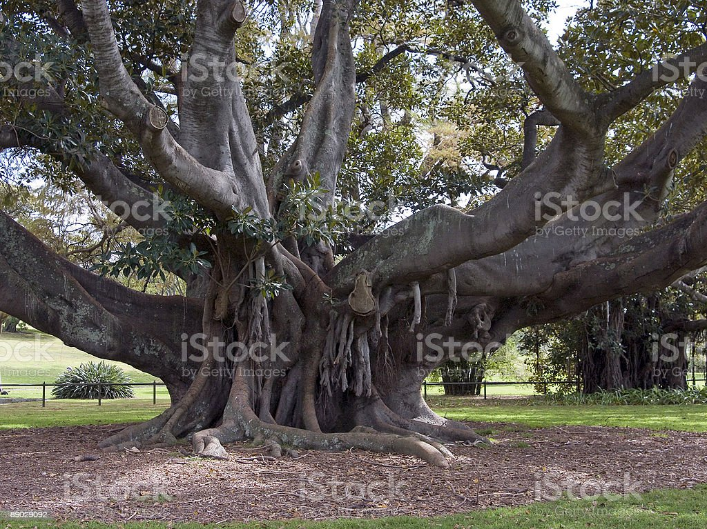 Moreton Bay Fig royalty-free stock photo