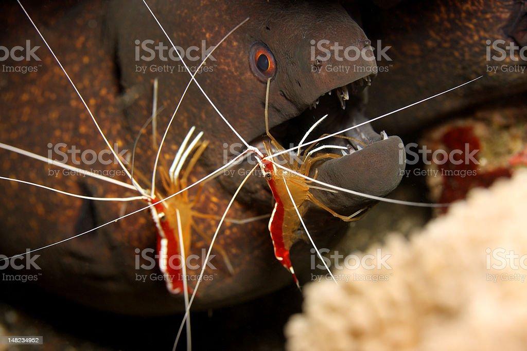 Morey eel stock photo