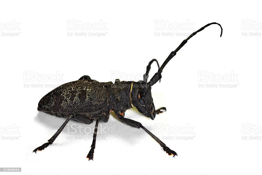 morimus asper longhorn beetle stock photo