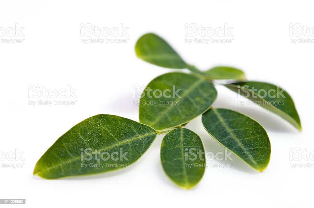 Moringa leaf isolated on white background stock photo