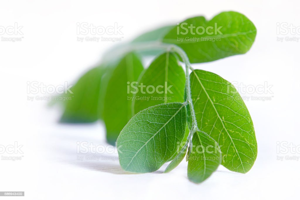Moringa leaf isolated on white stock photo