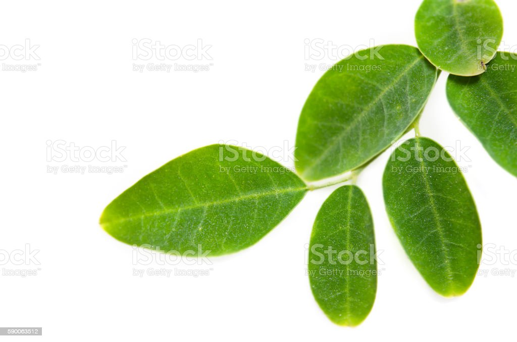 Moringa leaf on white background stock photo