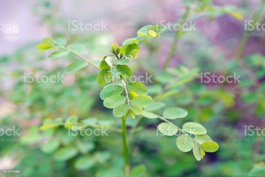 Moringa leaf (Benefits include reducing high blood pressure) stock photo