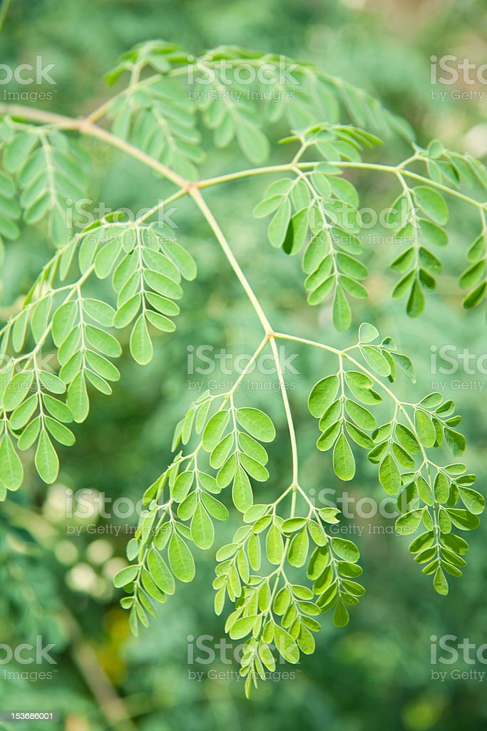 Moringa oleifera (the tree of life) royalty-free stock photo