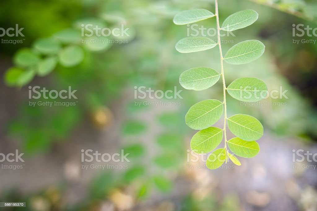 Moringa oleifera tropical medicinal plant stock photo