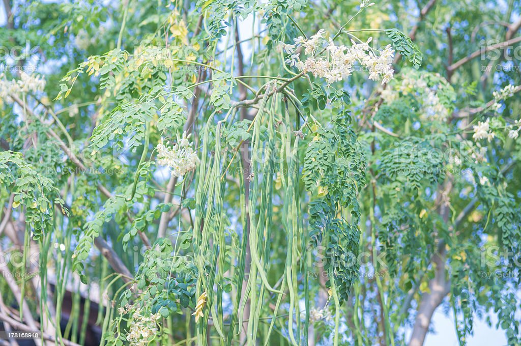 Moringa tree stock photo