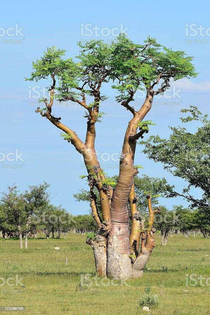 Moringa tree,Etosha,Namibia royalty-free stock photo