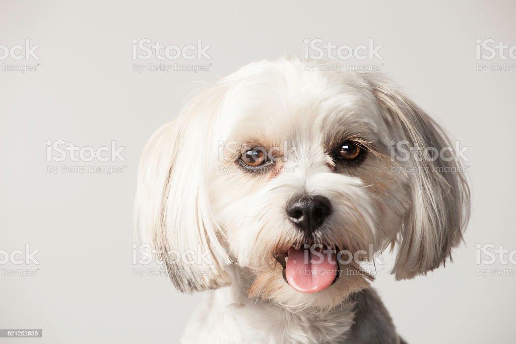 Morkie Portrait stock photo