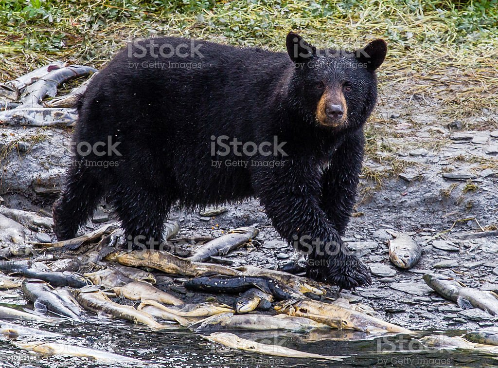 Morning black bear stock photo