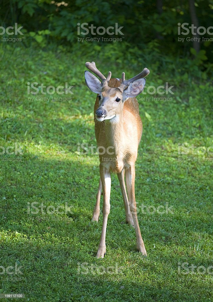 Morning buck royalty-free stock photo