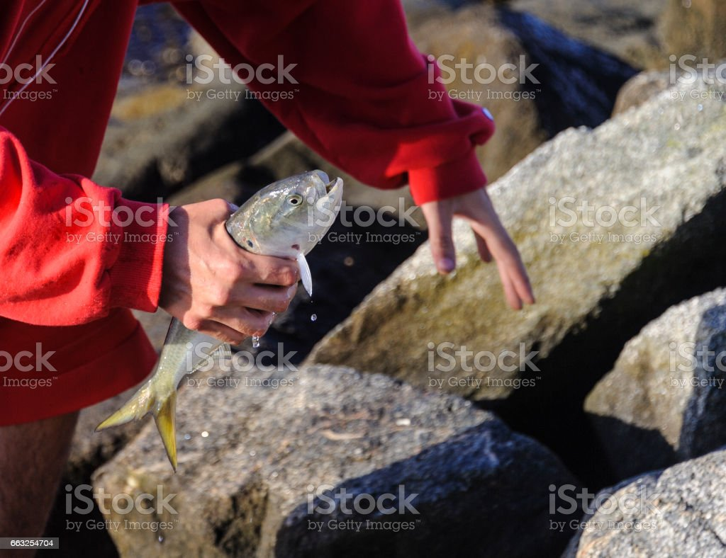 Morning catch Atlantic  menhaden stock photo