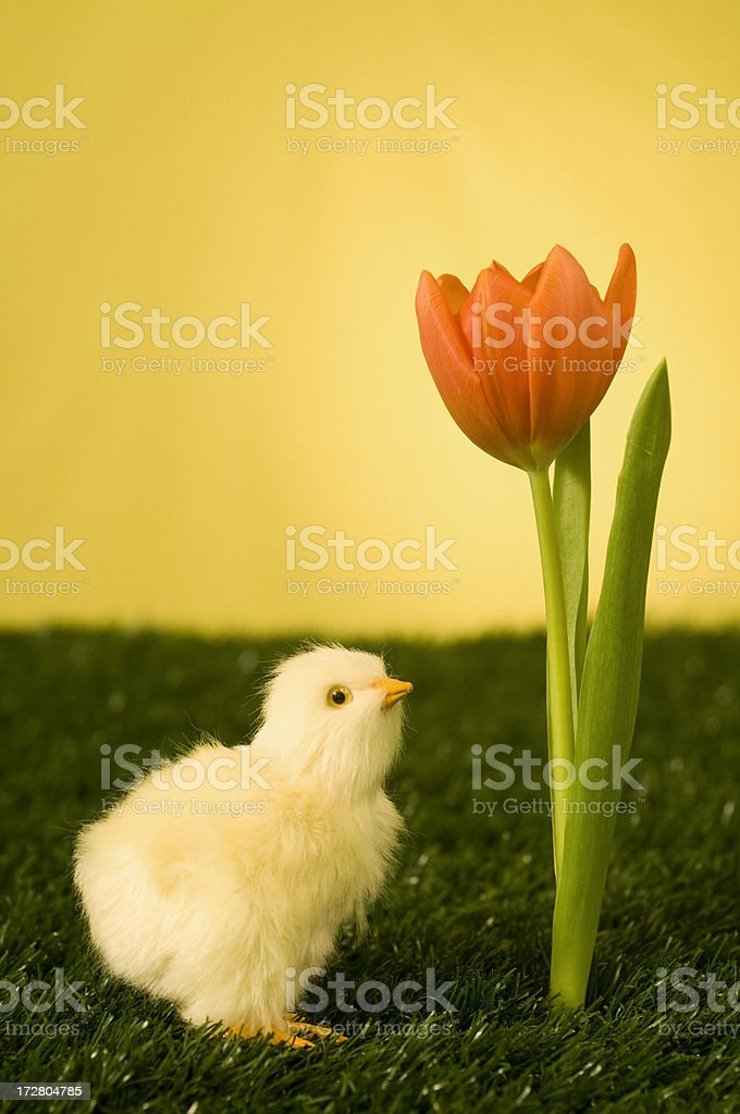morning chick and tulip royalty-free stock photo