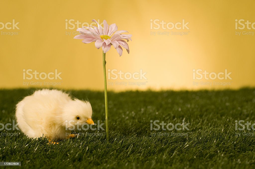 morning chick royalty-free stock photo