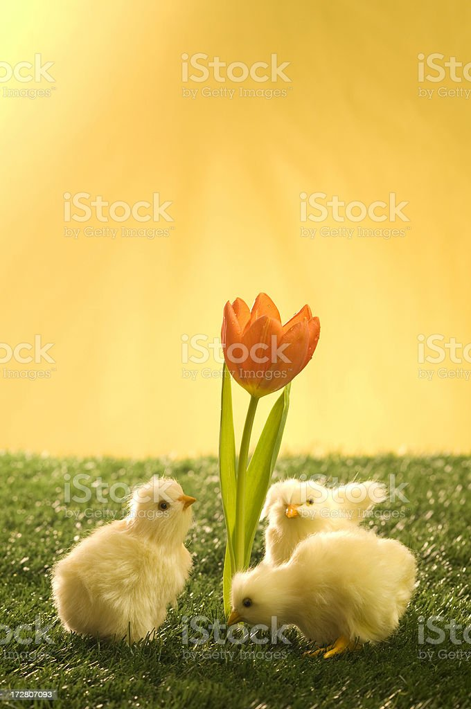 morning chicks and flower royalty-free stock photo