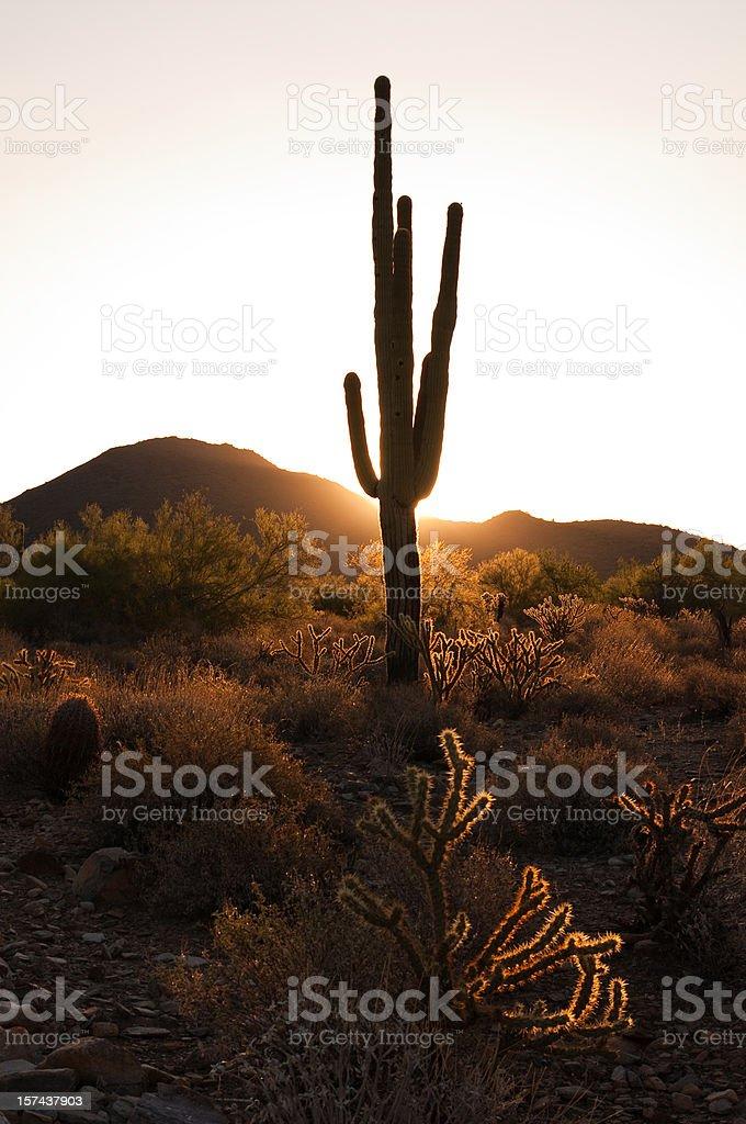 Morning Desert Saguaro no 2 royalty-free stock photo