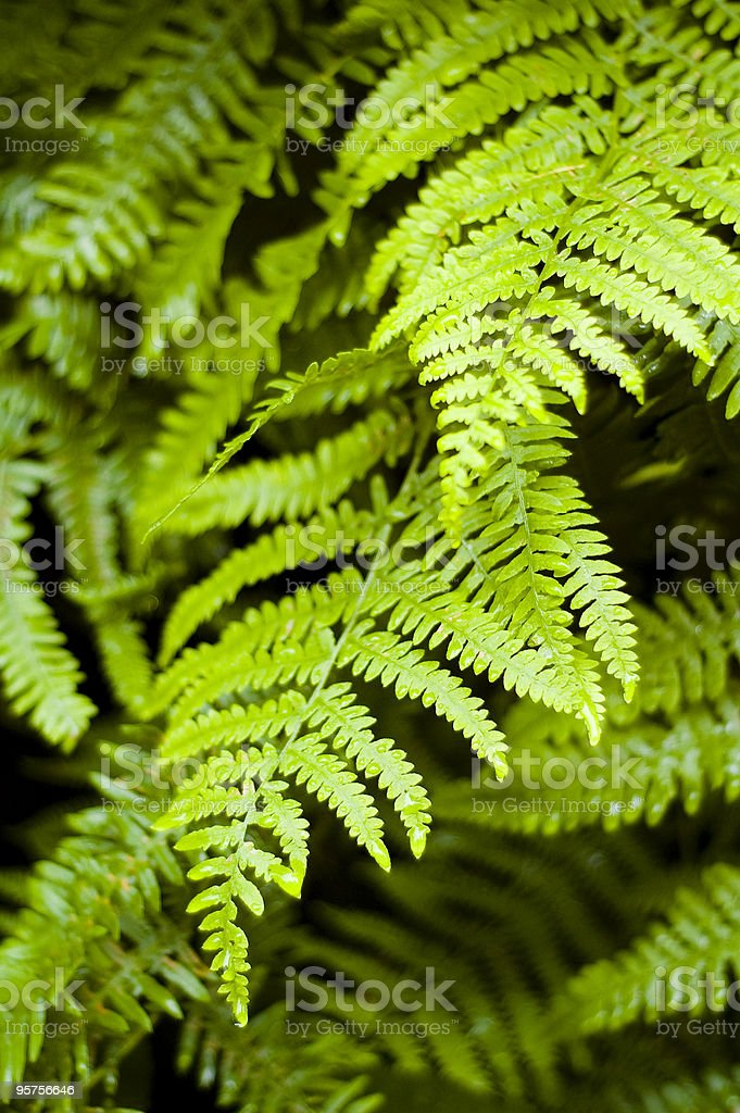 Morning dew and fern royalty-free stock photo