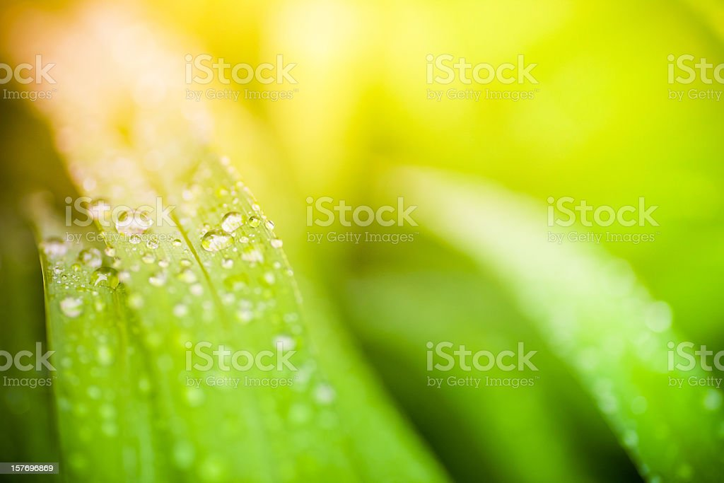 Morning dew on blades of grass during sunrise or sunset royalty-free stock photo