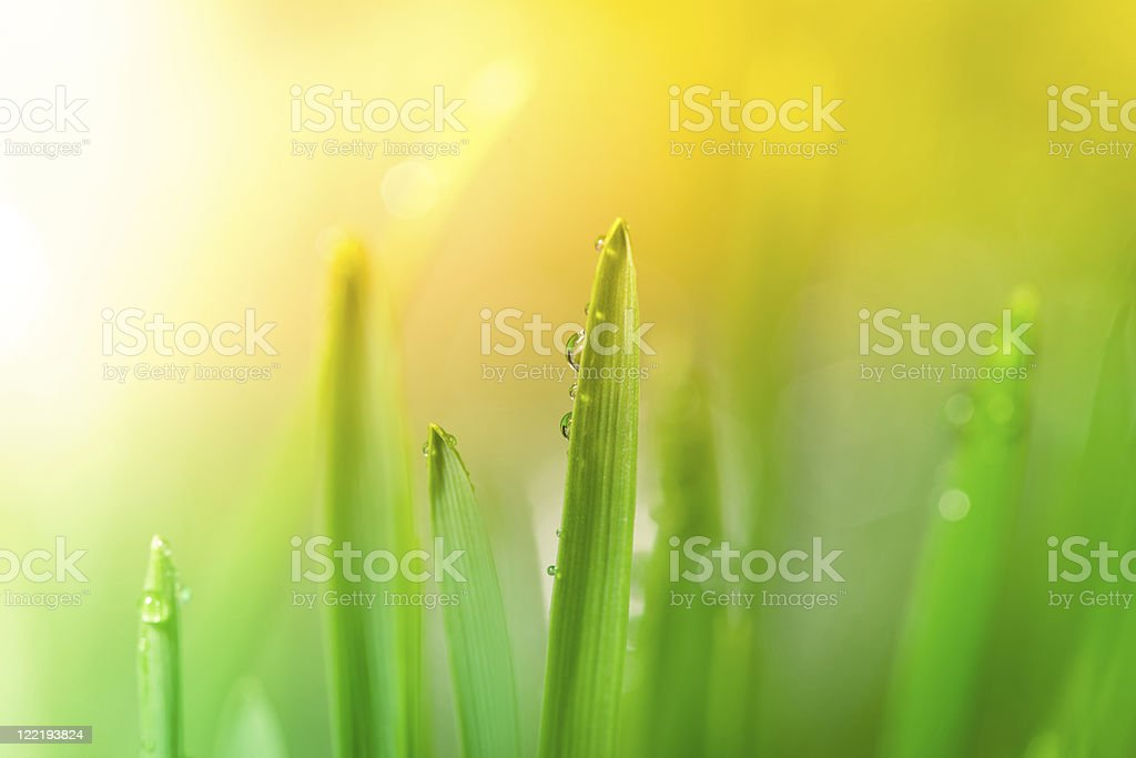 Morning dew on blades of grass during sunrise royalty-free stock photo