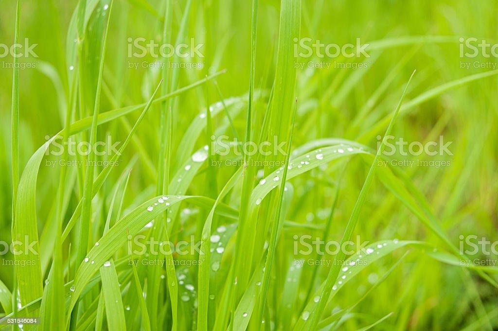Morgentau auf blades of Gras bei Sonnenaufgang Lizenzfreies stock-foto