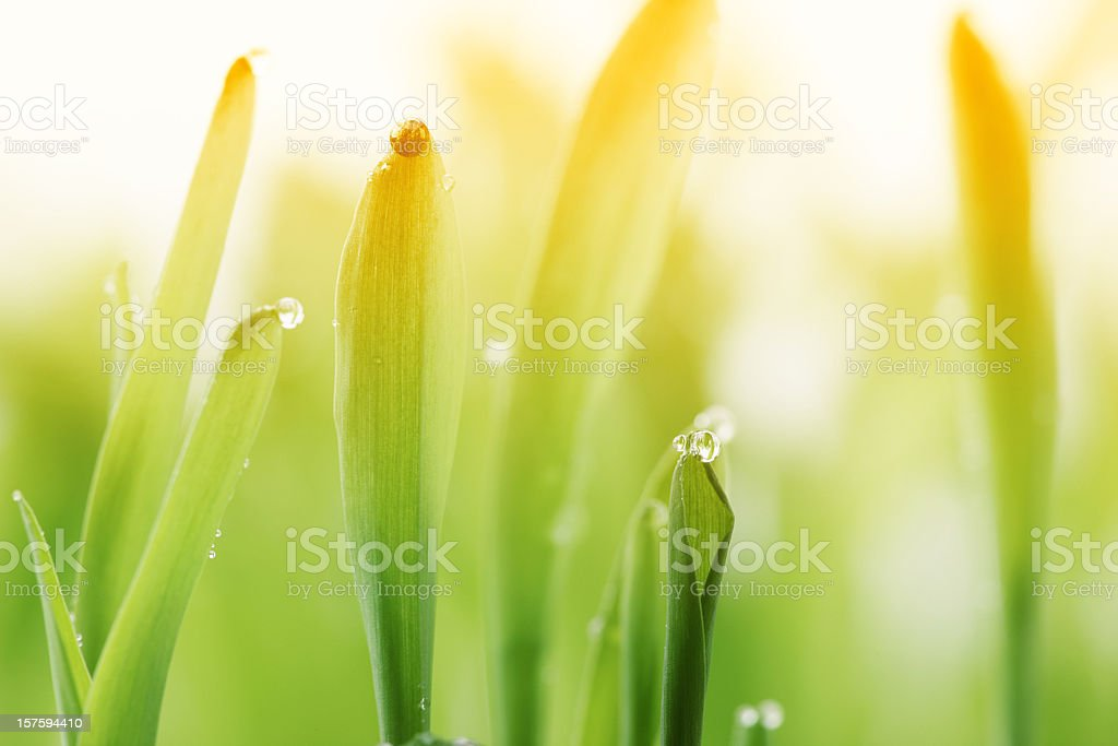 Morning dew on blades of grass during sunset royalty-free stock photo