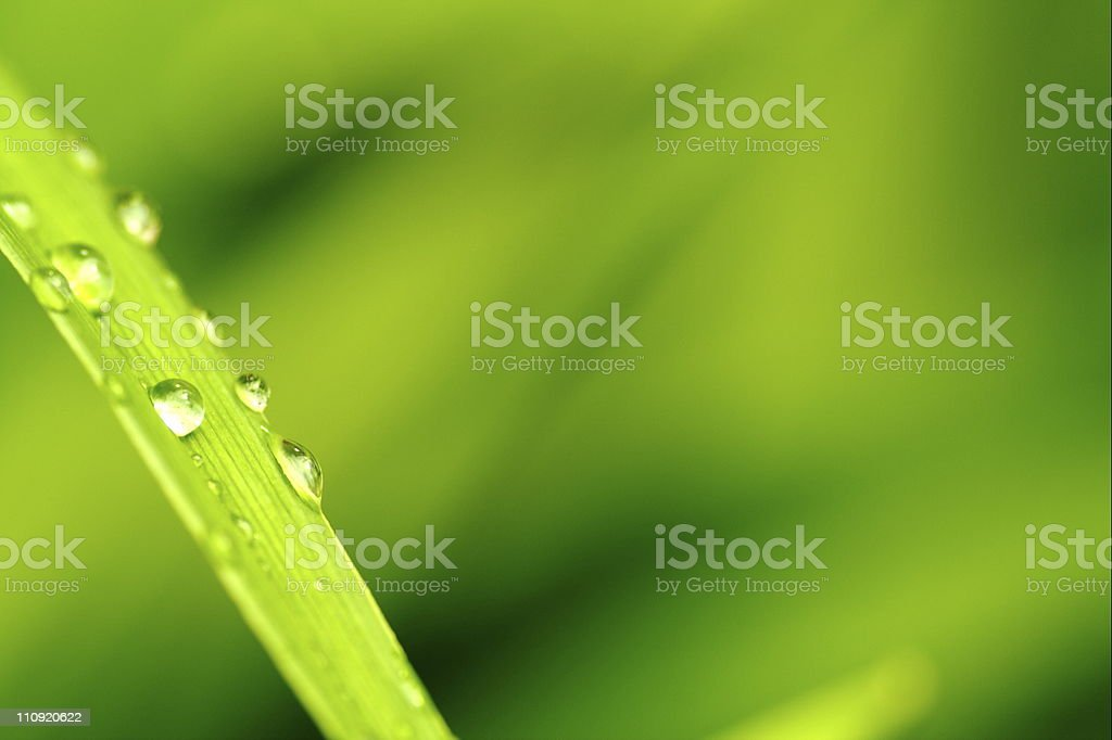 Morning dew on blades of wheatgrass stock photo