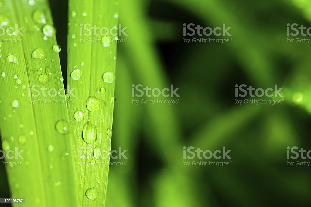 Morning dew on blades of wheatgrass royalty-free stock photo