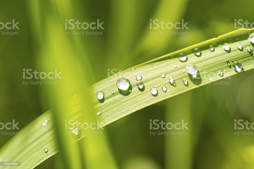 morning dew on grass blade royalty-free stock photo