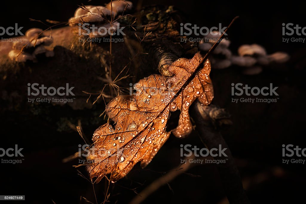 Morning dew on oak leaf in the sunlight. stock photo