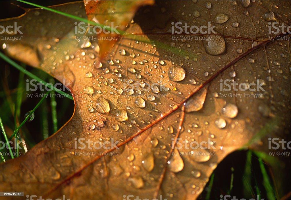Morning Dew on Oak Leaf stock photo